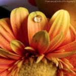 A drop on the Gerbera by FrancescaDelfino