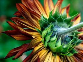 SunFlower Detail by TruemarkPhotography