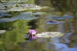 Water lily 0782 by fa-stock