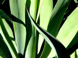 Agave Leaves by jtwilder