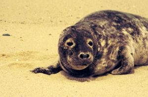 Baby Seal by lilsparkle2011