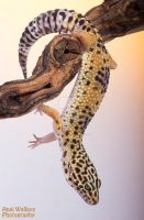 Arboreal leopard gecko by AngiWallace