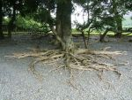 Tree roots by autumn-icestock
