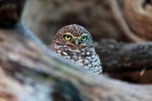 Burrowing Owl by dkbarto