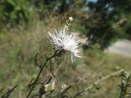 White knapweed by mossagateturtle