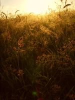 Golden grass by Faerie2304