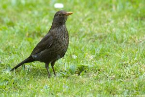 Blackbird Posing by horai
