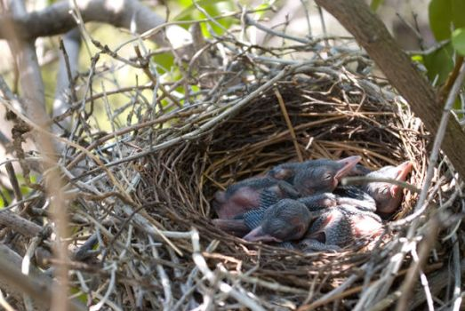 Blue Jay Eggs - After by VinceVulpes