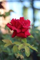 Crumpled Red by AtomicBrownie