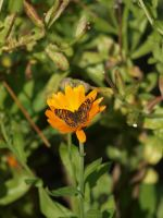 Butterfly and Calendula Stock 01 by botanystock