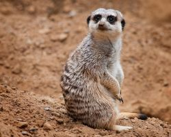 Cautious Meerkat by DeniseSoden