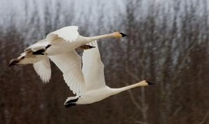 Swan Flight 1 121110 by GreyVolk