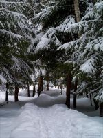 Alley of Snowy Firs by rici66