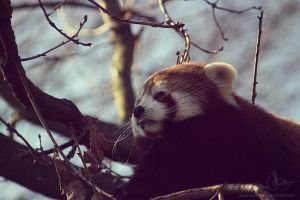 Red Panda by Dagwanoenyent