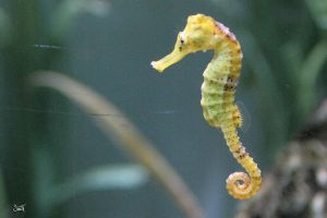 Seahorse by s-a-s-a