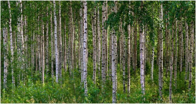 Birch Forest by xuvi