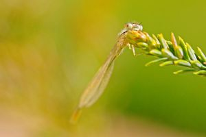 SPRING DAMSELFLY by Sandy33311