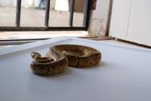 Lemon Blast Ball Python 16 by FearBeforeValor