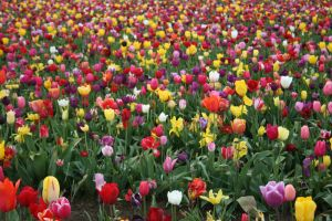 Tulip Field 2 by KelbelleStock