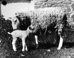 Ewe and Lamb by Lokwa