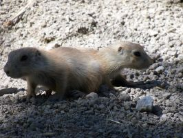 Push Me Pull You Prairie Dogs by TimelordWitch10
