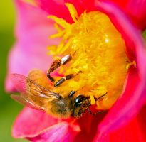 Honey Bee by ARC-Photographic