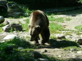 Grizzly Bear 27 by Unseelie-Stock