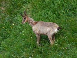 Pyrenean chamois by Clawfiren
