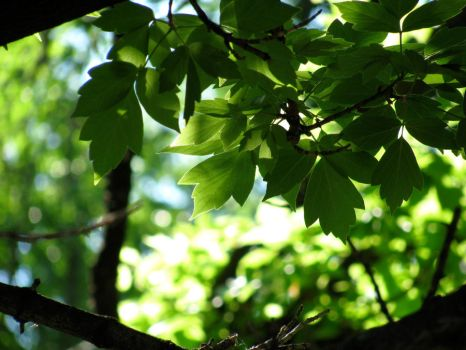Leaves in Light by jpwendell