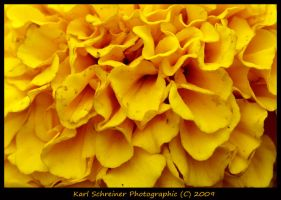 Yellow Marigold by KSPhotographic
