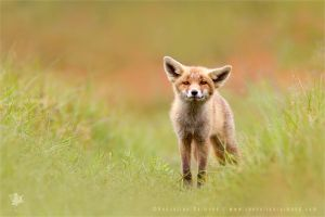 Funny Fox Kit and Wishing You All a Happy 2015 by thrumyeye