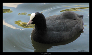 Coot by MrDeKat