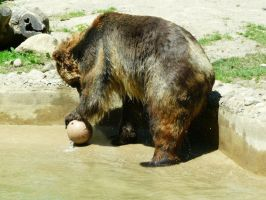 Grizzly Bear 03 by Unseelie-Stock