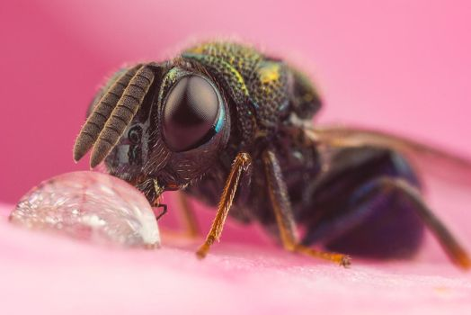 Small Wasp Drinking by Abovelifesize