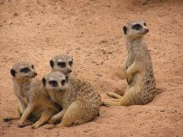 Meerkats by BillietheKat