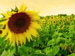 sunflowers by ssilence