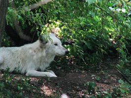 White Wolf Stock 7 by HOTNStock
