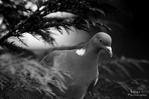 Black-White Pigeon by DiY171