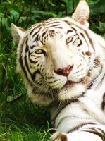 white bengal tiger by Elvira1990