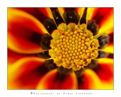 Gazania by poraschaudhary