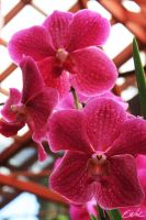 Pink Orchid by wolmers