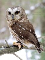 Luna the Telus Owl by remydarling