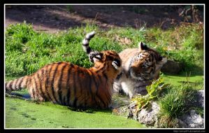 Playful Tigers II by Arwen91