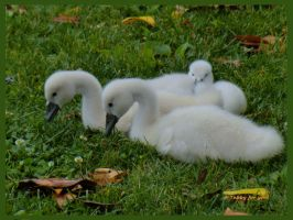 baby swans taking a rest by TanteTabata