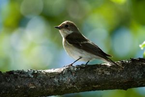 flycatcher 8 by mv79