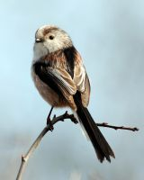 Long tailed tit by pixellence2