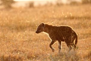 hyena at sunrise by serhatdemiroglu