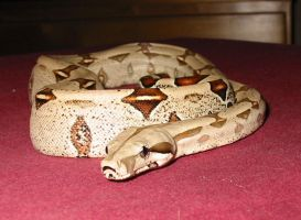 Boa constrictor pict 1 by poisonous