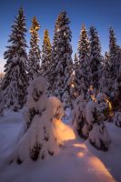 Winter Spruces by JoniNiemela