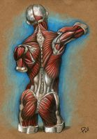 Back Muscle Study by Jackaloftrades
